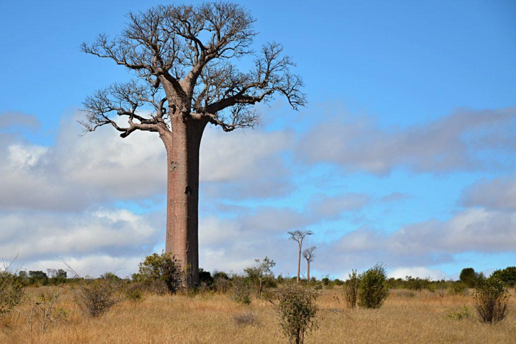 Baobab cestou do Tulearu