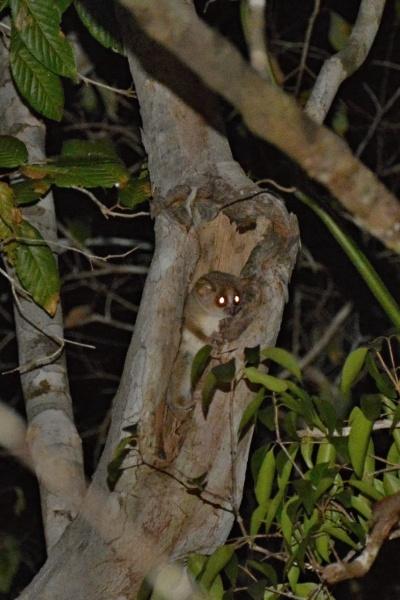 Grey Mouse Lemur (Microcebus Murinus) v rezervaci Kirindy