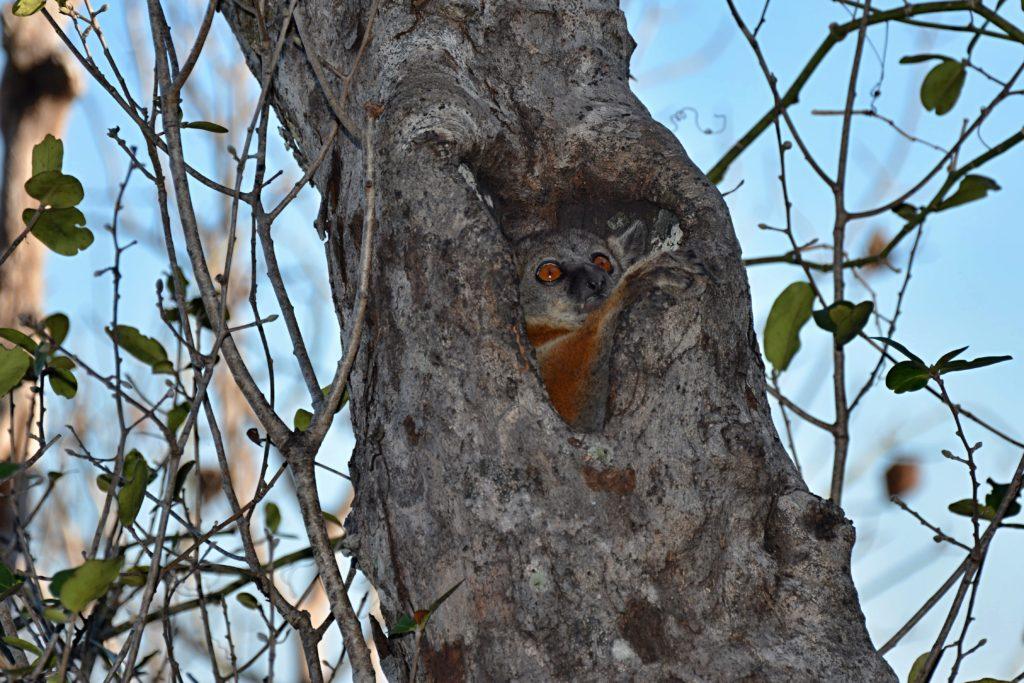 Grey Mouse Lemur (Microcebus Murinus)