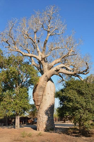 Zamilovaný baobab L'amour