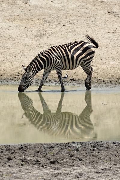 Zebra stepní v NP Tarangire