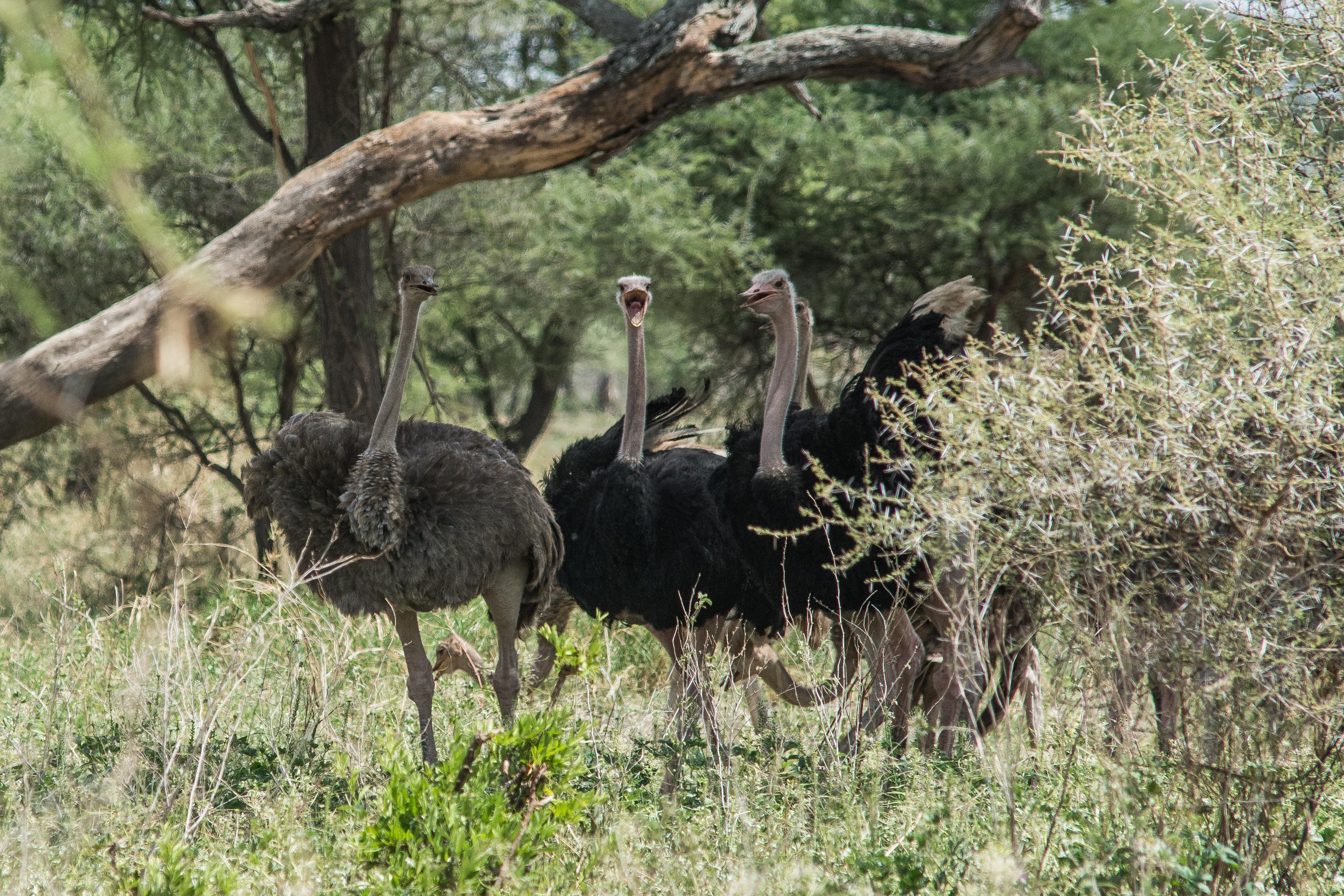 Pštros dvouprstý v NP Tarangire