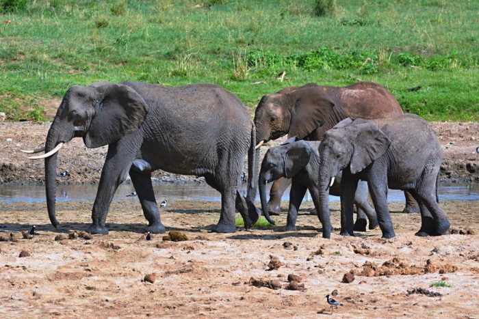 Slon africký v NP Tarangire