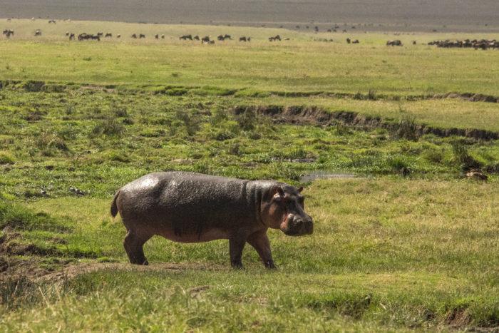 Hrošík v Ngorongoro