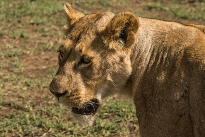 Lvice v Ngorongoro