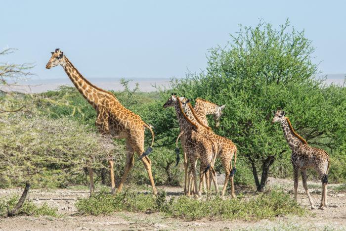 Žirafy v národním parku Serengeti