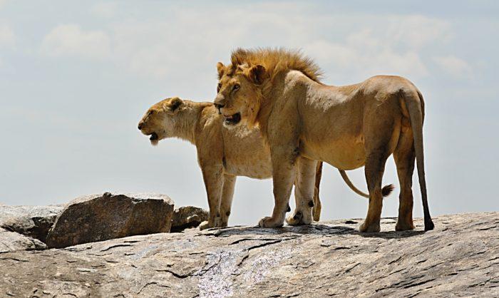 Lví pár v národním parku Serengeti