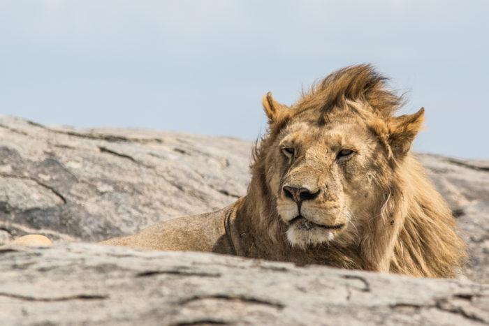 Lev v národním parku Serengeti