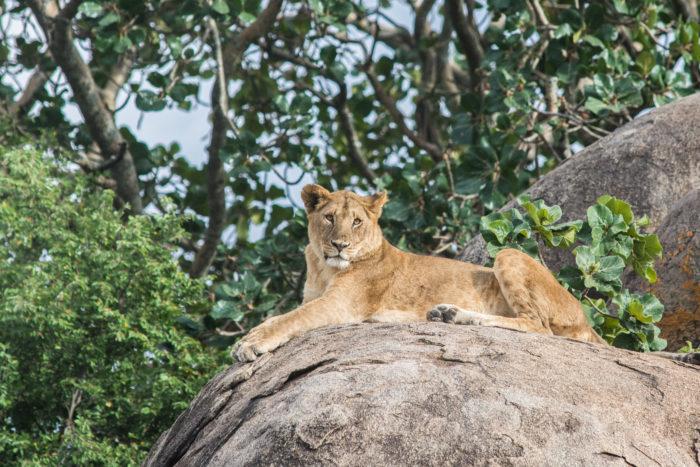 Lvice v národním parku Serengeti