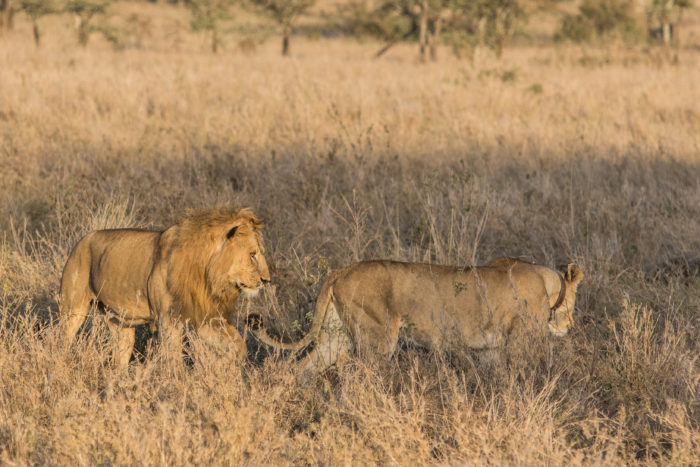 Lvi v národním parku Serengeti