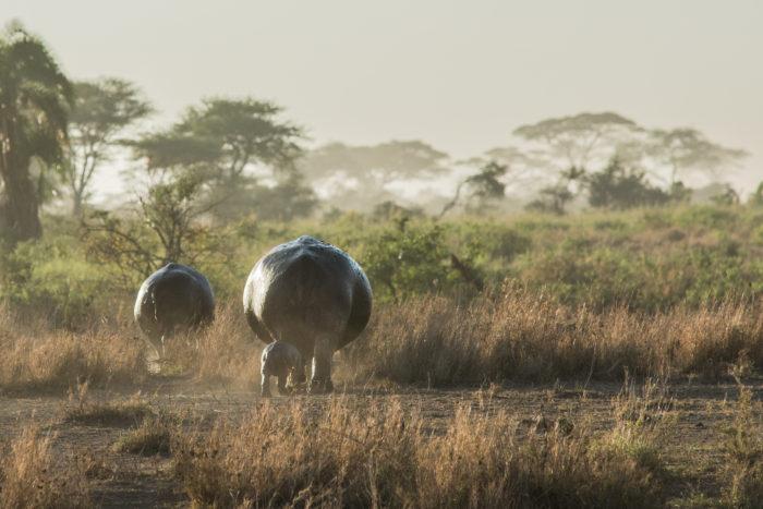 Hroší rodinka v národním parku Serengeti