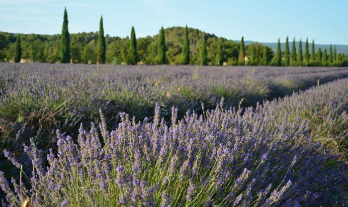 Levandulová políčka v oblasti Luberon, Provence